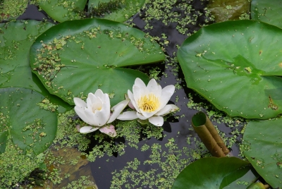 flor-loto-delft